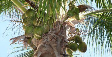 cocos en cocotero